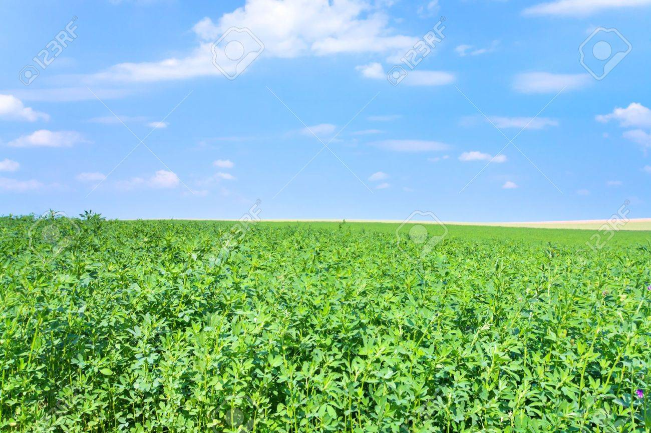 green lucerne field under blue sky in France Stock Photo - 14149934