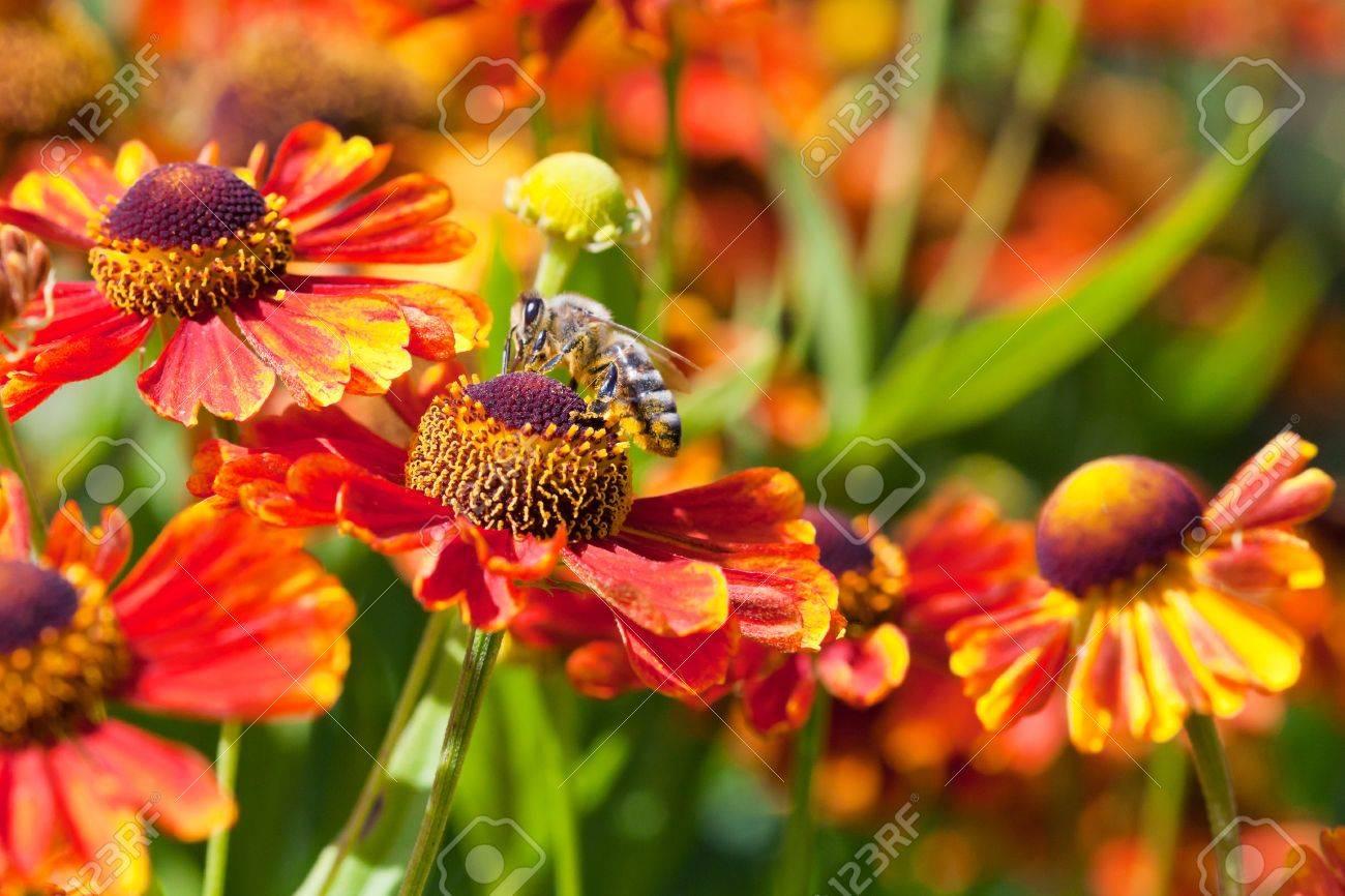 honey bee sips nectar from gaillardia flower close up in sunny summer day Stock Photo - 21515822