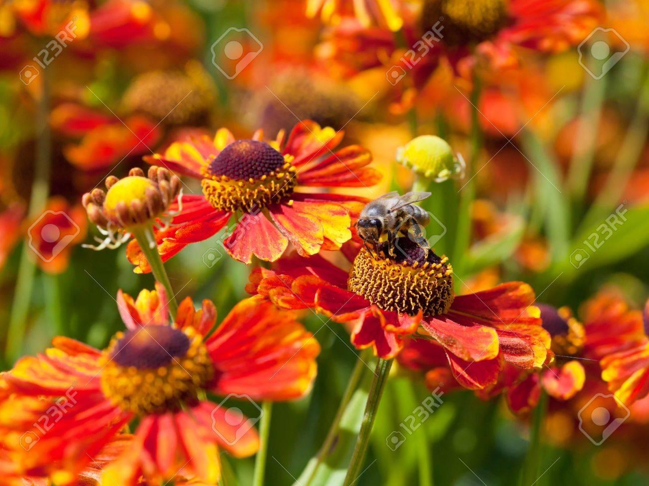 honey bee sips nectar from gaillardia flower macro shot Stock Photo - 21515823