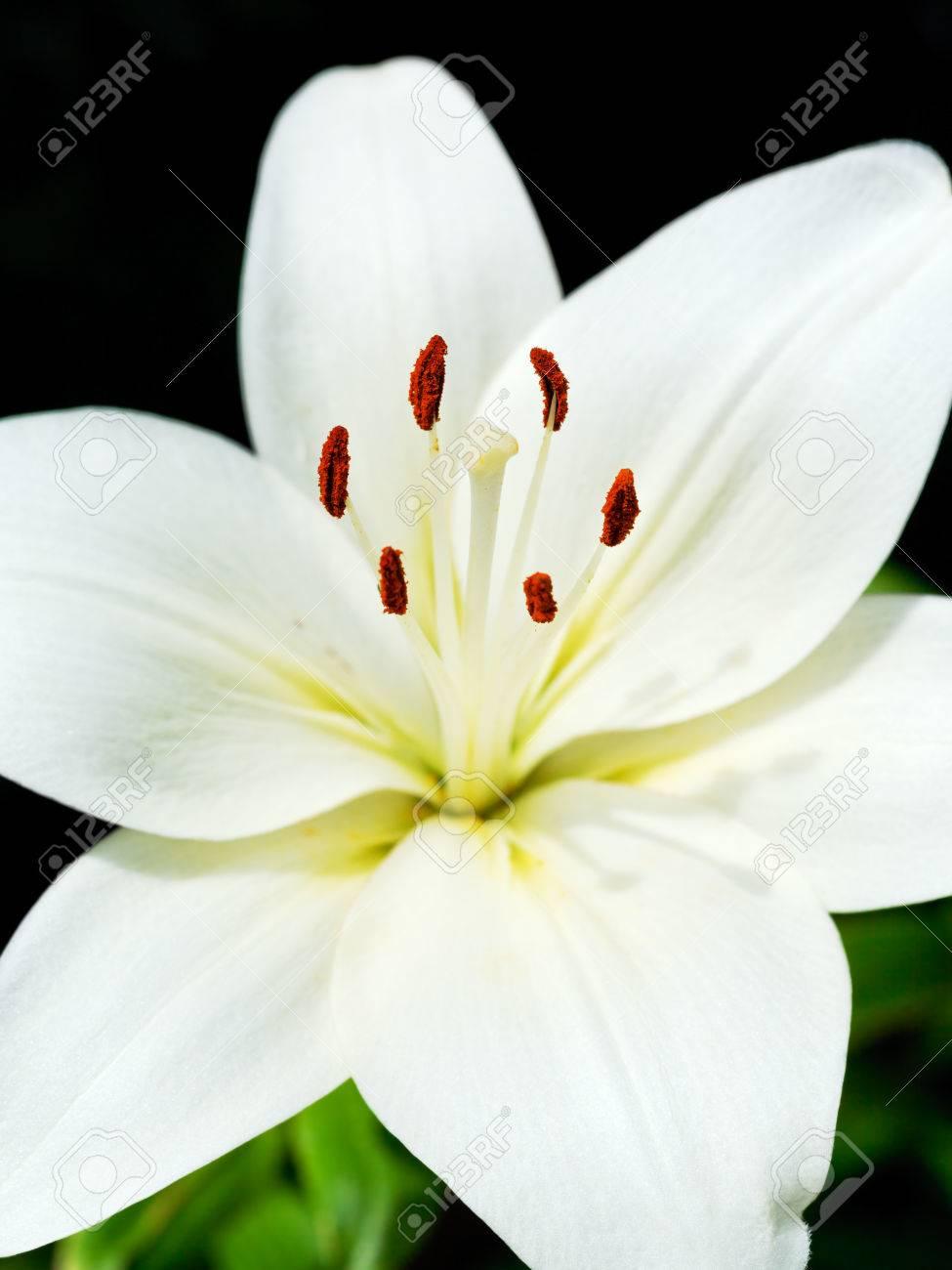 White flower of lilium candidum madonna lily close up stock photo stock photo white flower of lilium candidum madonna lily close up izmirmasajfo