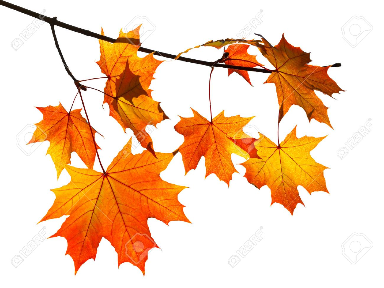 branch with yellow and orange autumn maple leaves isolated on white background - 33528381