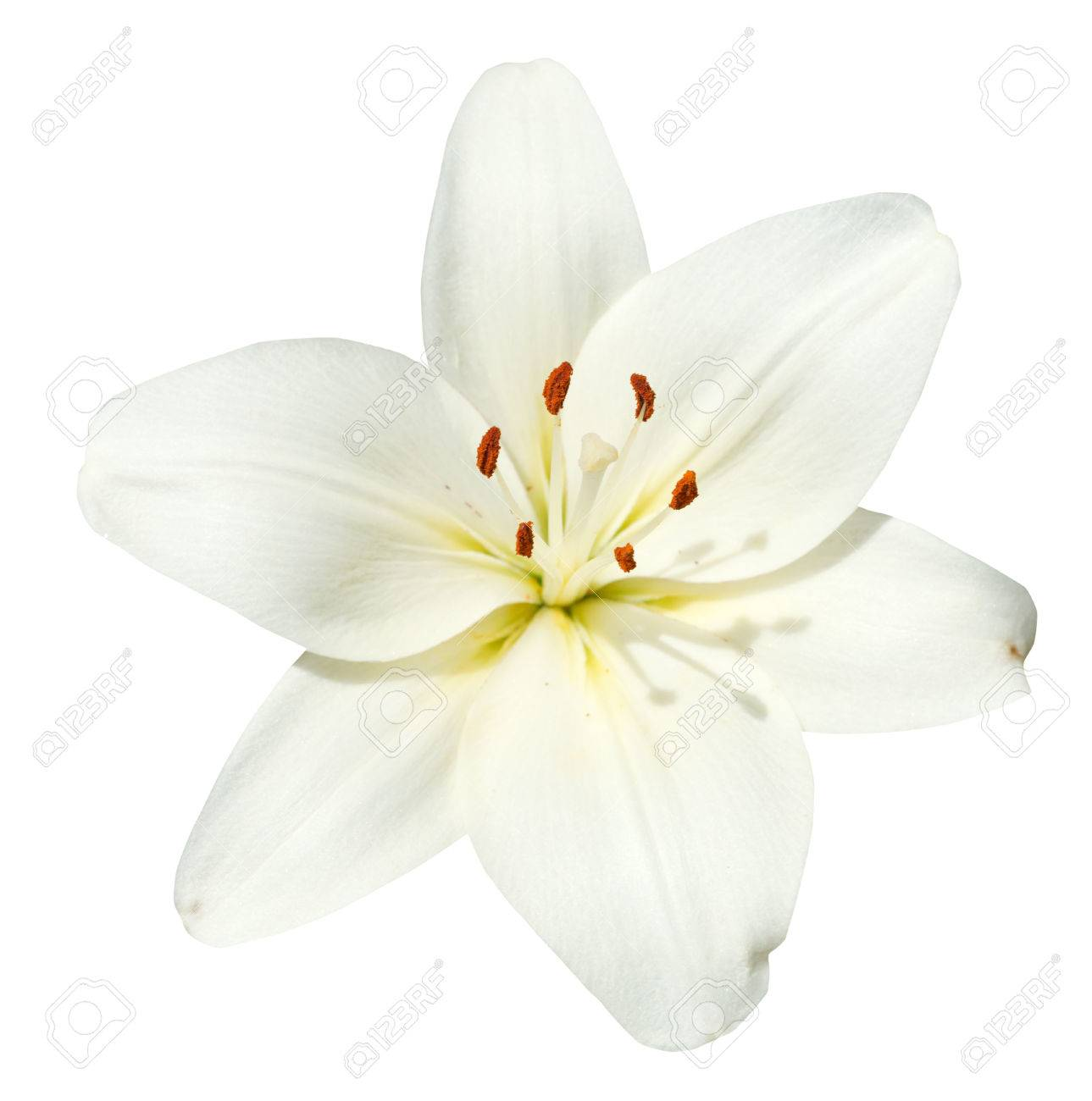 White flower lilium candidum isolated on white background stock stock photo white flower lilium candidum isolated on white background mightylinksfo