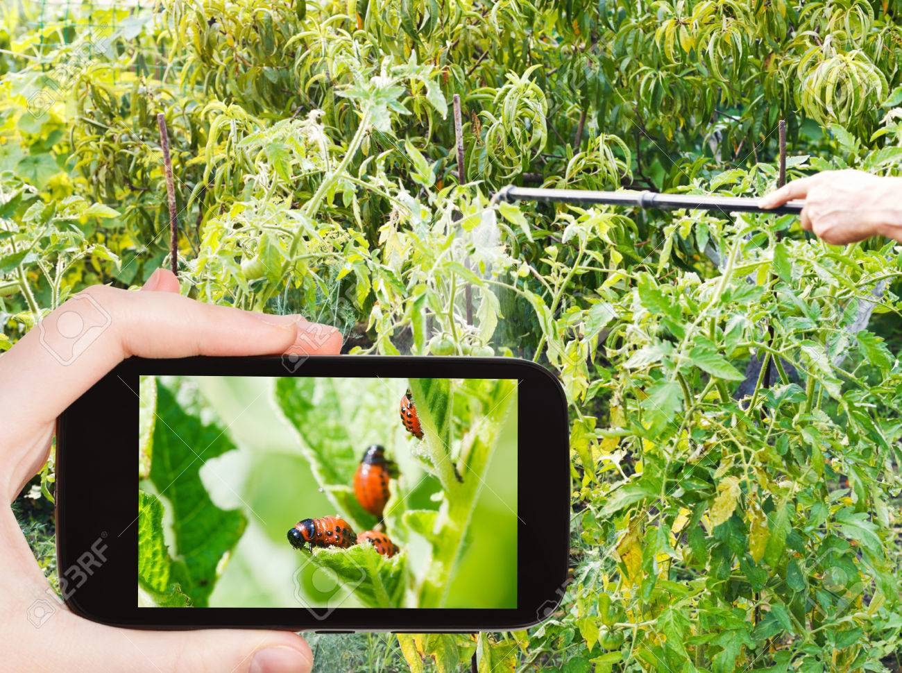 Garden Concept   Man Taking Photo Of Spraying Of Insecticide On Colorado  Potato Beetle On Mobile