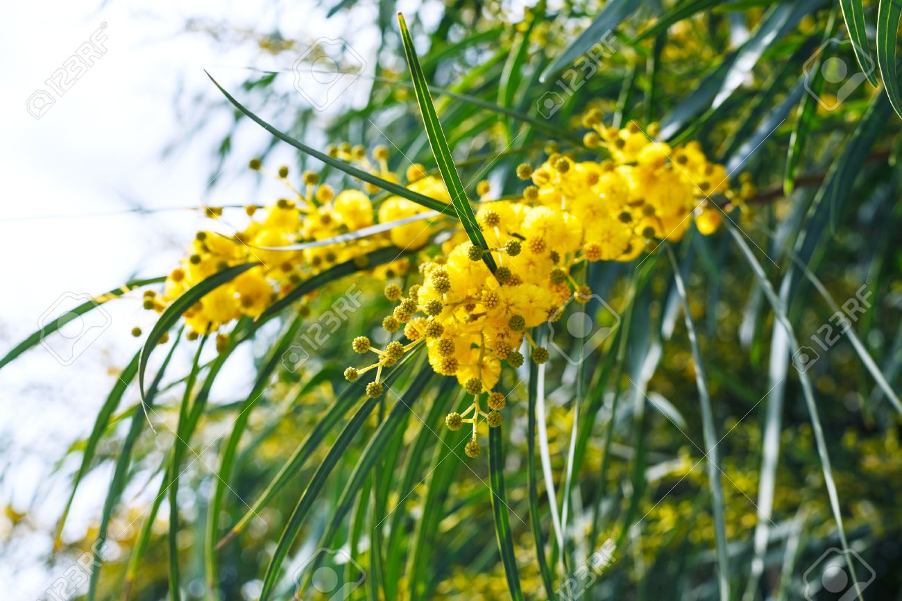 Yellow Flowers Of Mimosa Tree Acacia Pycnantha Golden Wattle