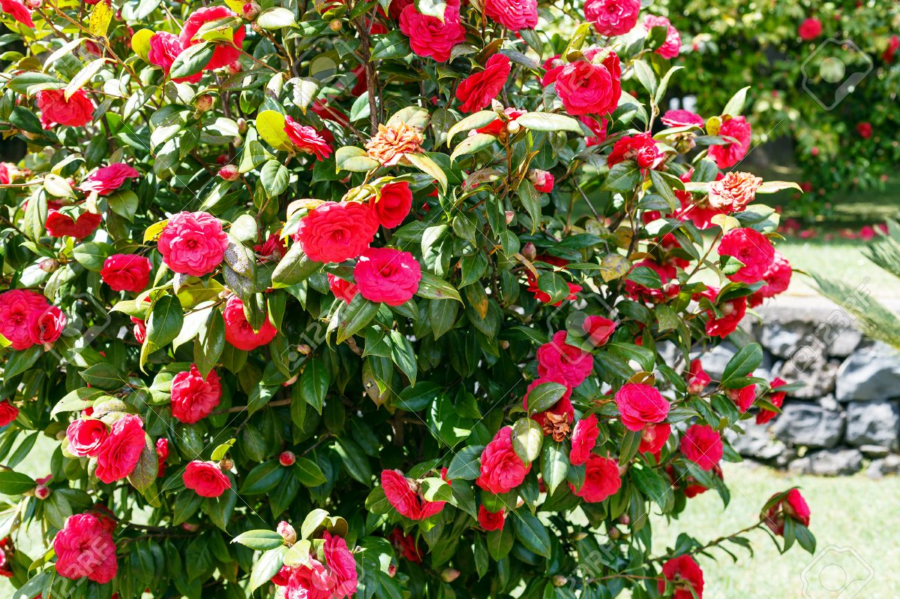 Camellia bush with red flowers in sunny spring day sicily stock camellia bush with red flowers in sunny spring day sicily stock photo 39021389 mightylinksfo