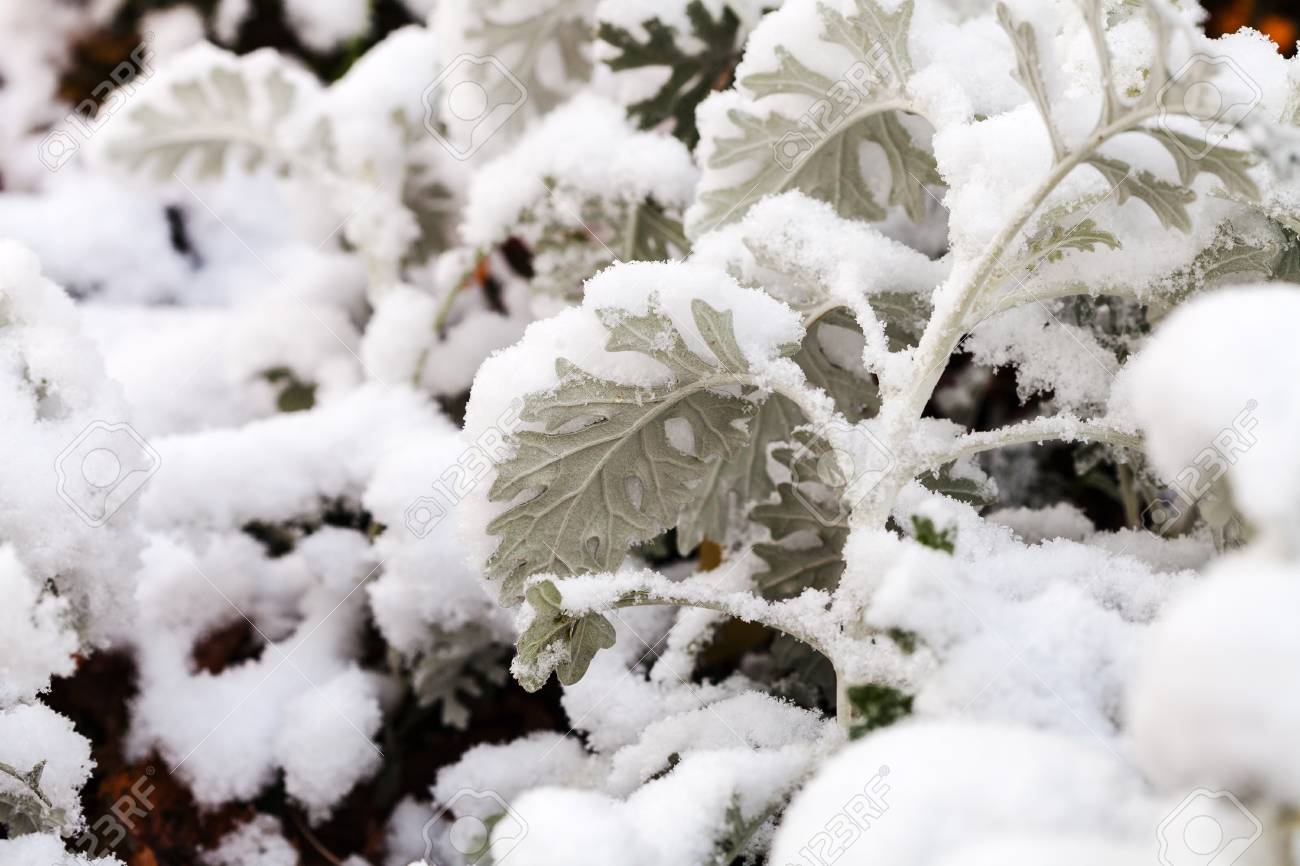 First Snow On Dusty Miller Plant Close Up In Autumn Stock Photo