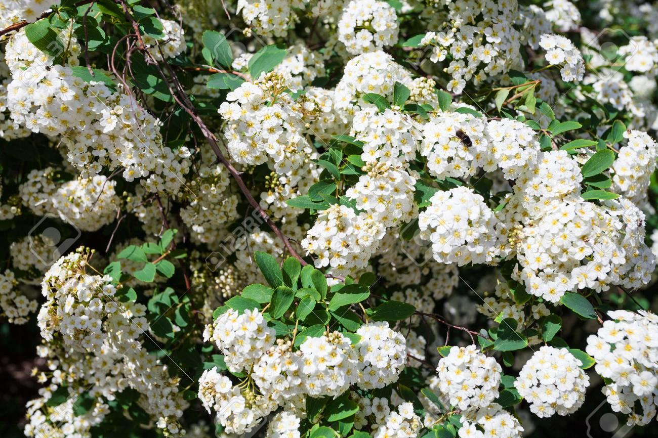 White Flowers Of Bird Cherry Tree In Sunny May Day Stock Photo