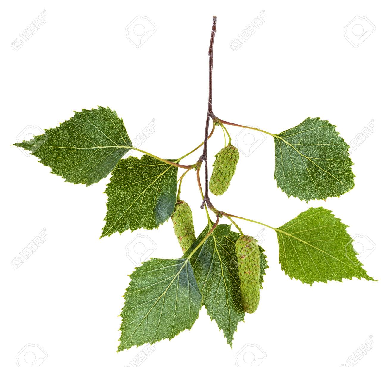 branch of birch tree (Betula pendula, silver birch ,warty birch, European white birch) with green leaves and catkins isolated on white background - 58811532