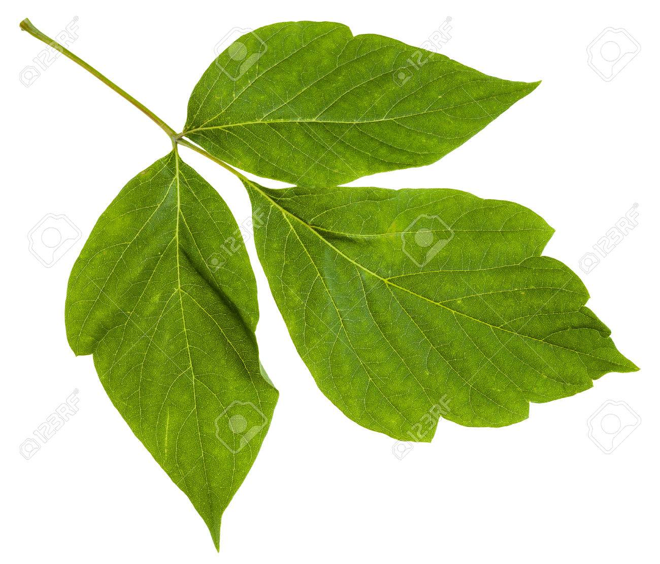 Twig With Green Leaves Of Acer Negundo Maple Ash Tree Isolated