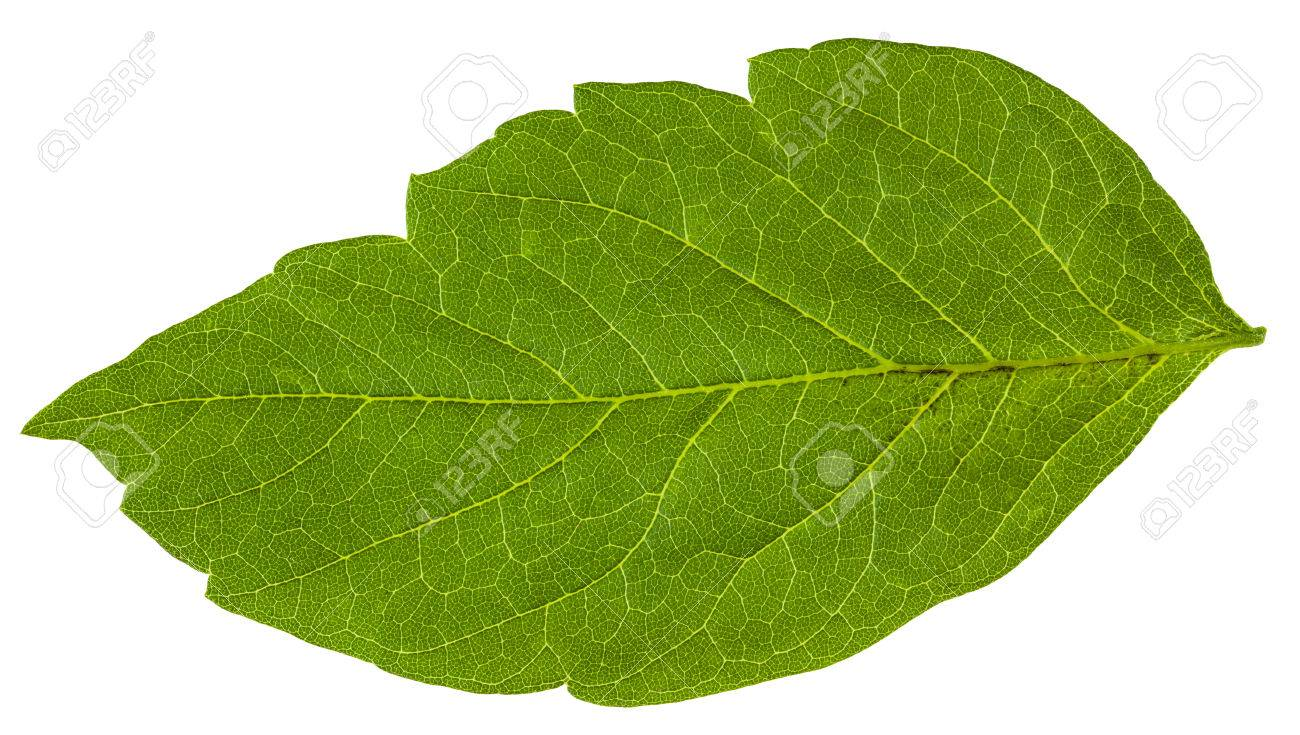 green leaf of acer negundo maple ash tree isolated on white
