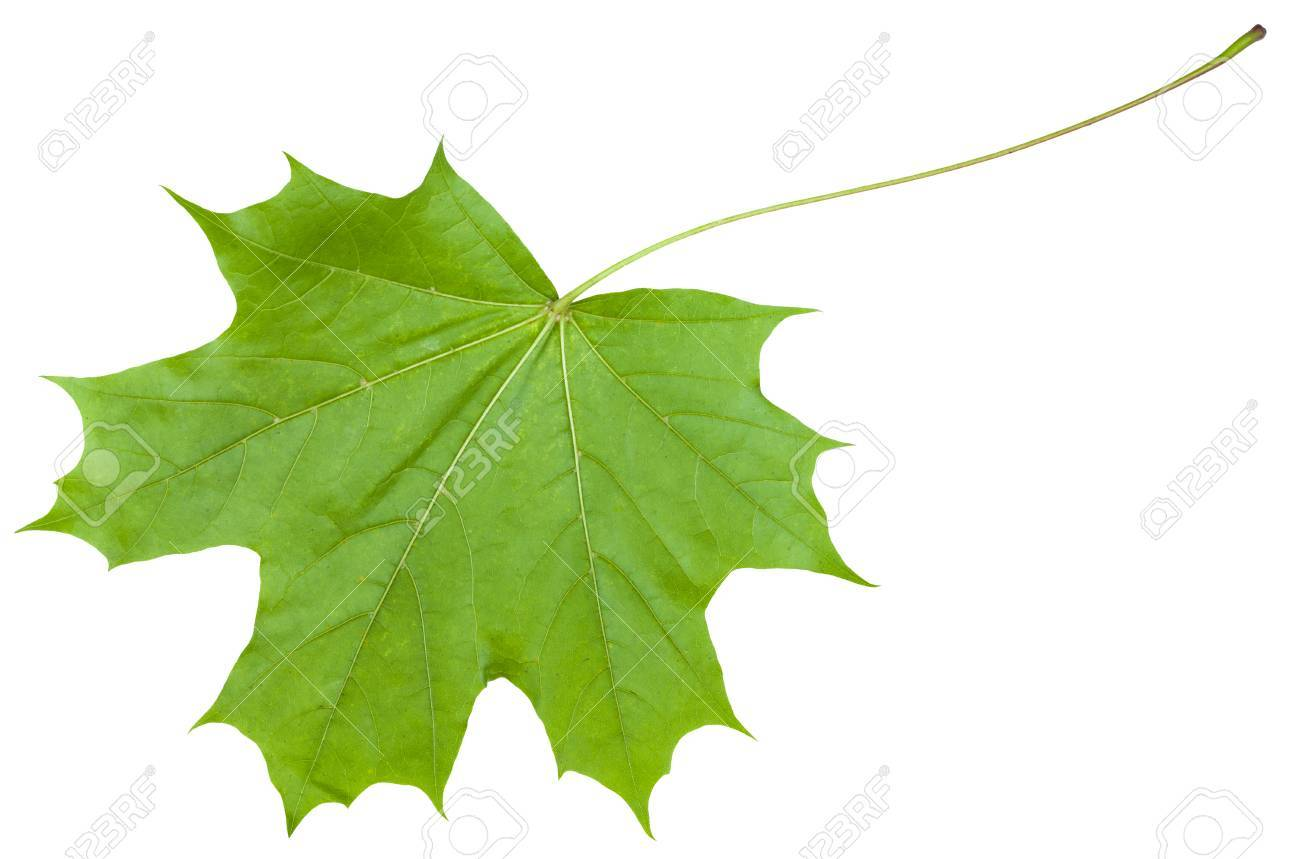 Back Side Of Green Leaf Of Maple Tree Acer Platanoides Norway Stock Photo Picture And Royalty Free Image Image 58811615
