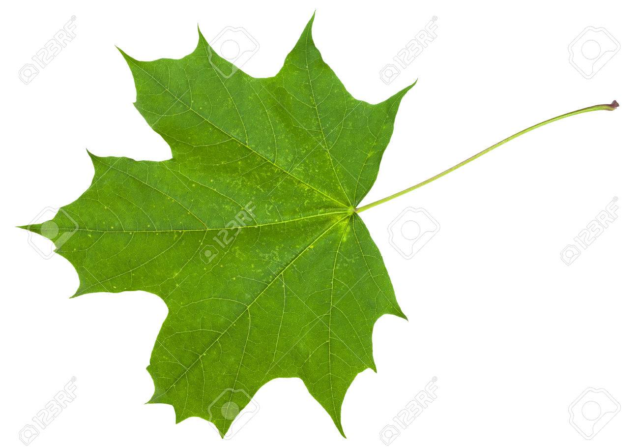 Green Leaf Of Maple Tree Acer Platanoides Norway Maple Isolated