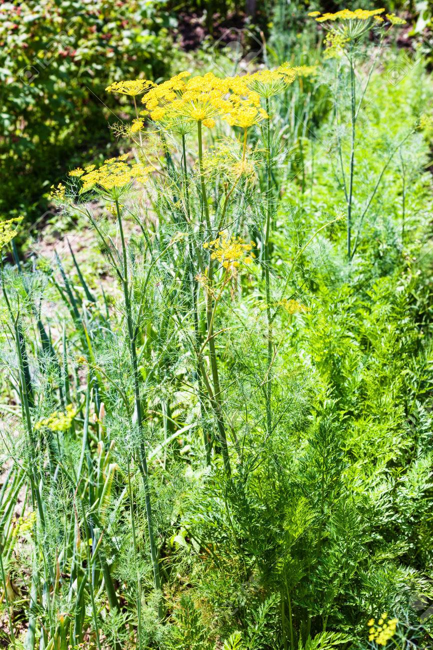 Bed With Spicy Herbs In Garden Yellow Flowers Of Dill Green