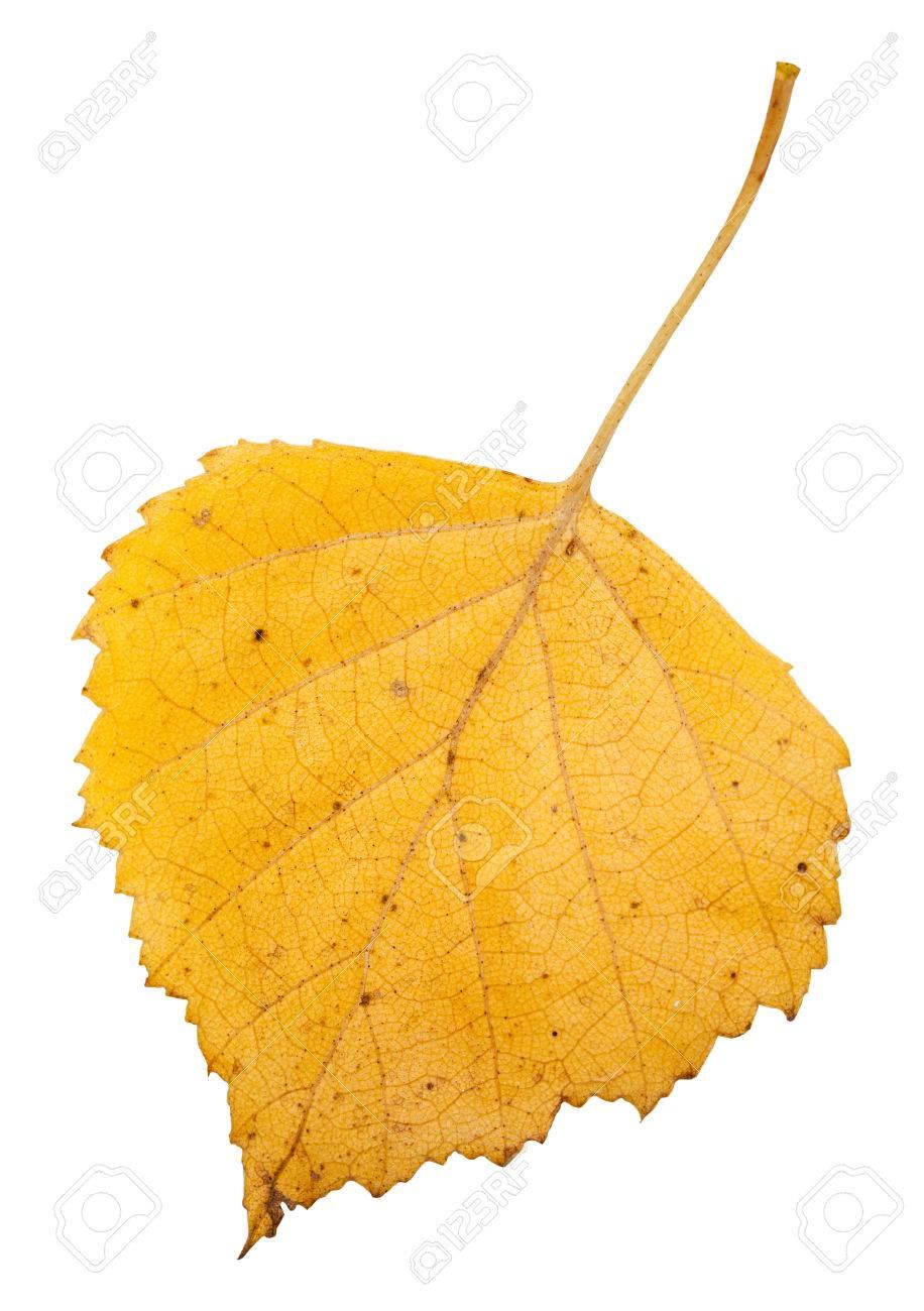Gelb Herbst Blatt Baum Der Birke Auf Weissem Hintergrund Lizenzfreie