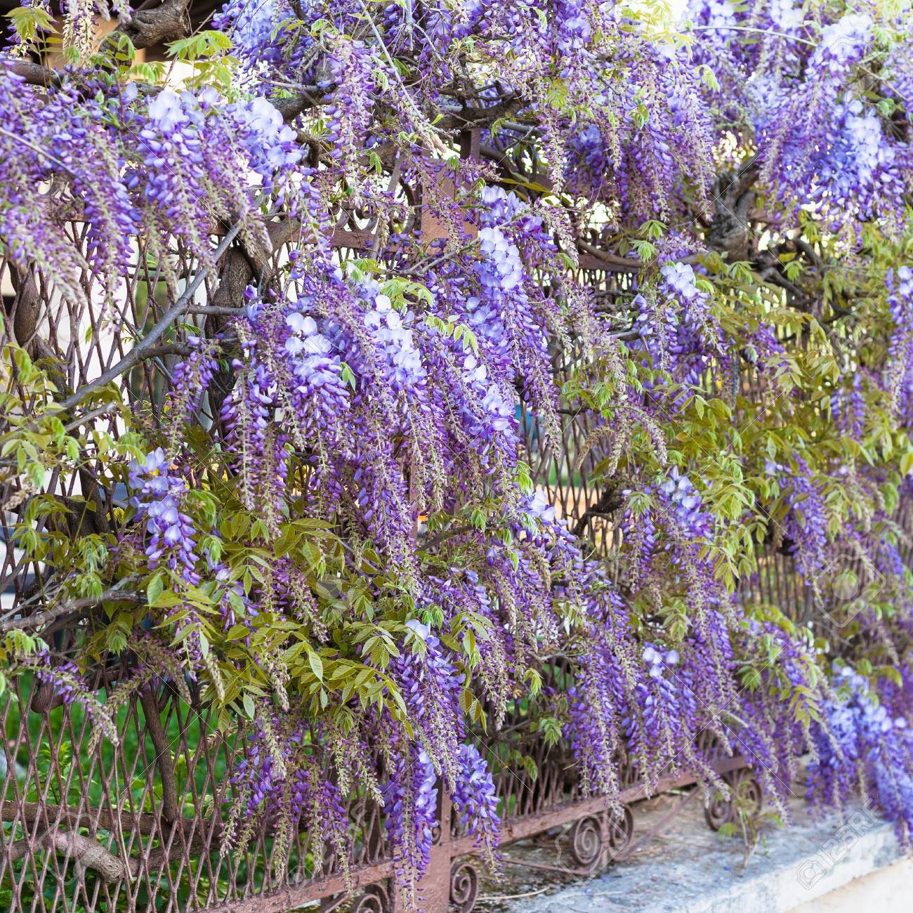 Travel To Italy Blue Flowers Wisteria Plant In Urban Garden