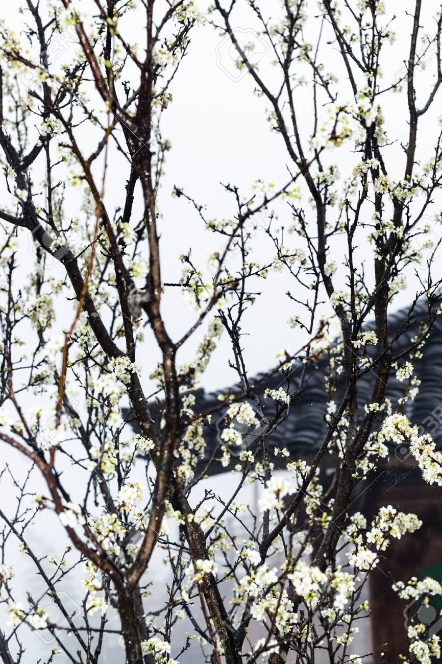 Viajar A China Flores Blancas Húmedas De Cerezo Y Casa De Campo En El Fondo En Primavera Lluvia En El Pueblo De Tiantouzhai En El área Terrazas De