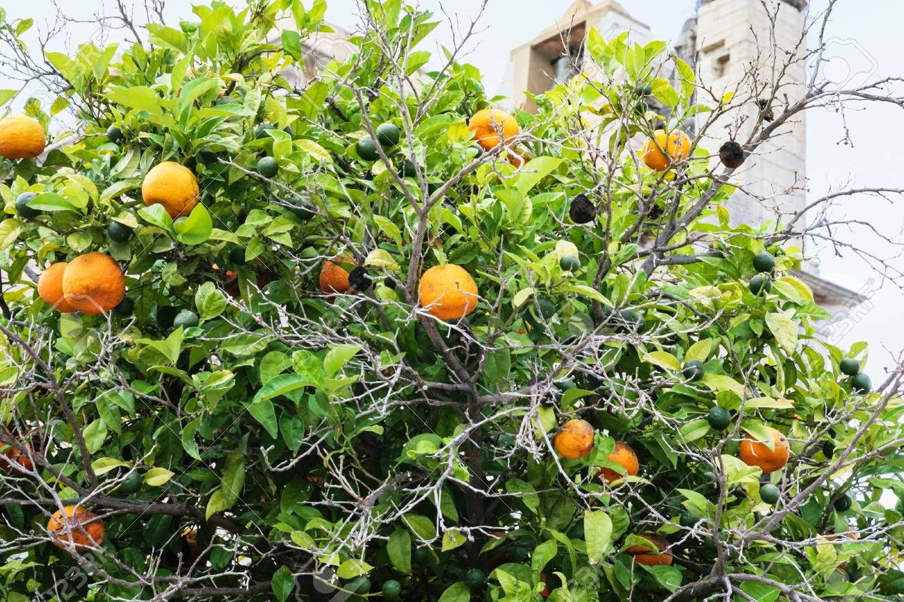 Travel to Algarve Portugal - mandarine tree with ripe fruits
