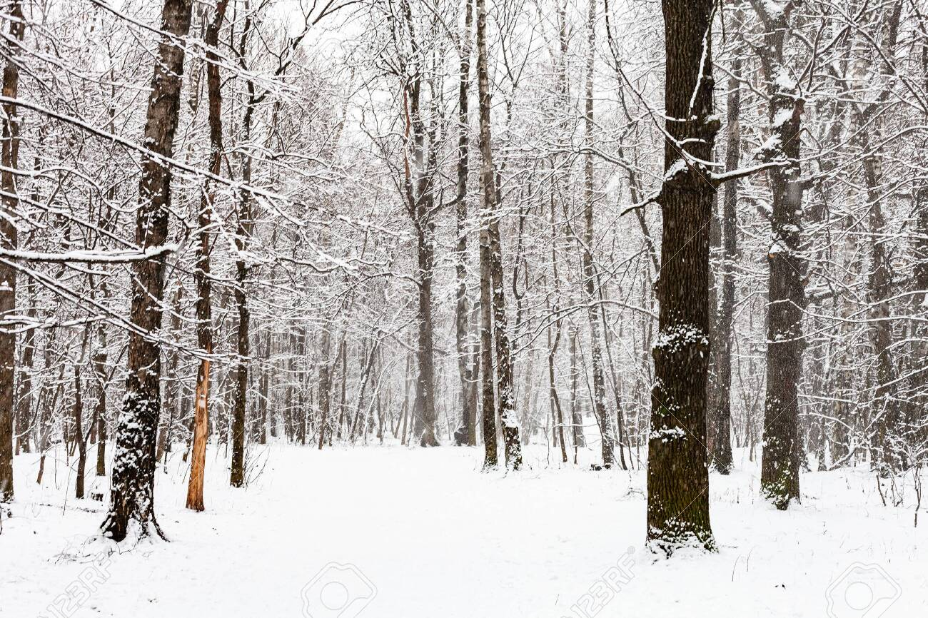 snow-covered footpath in snowy forest during snowfall in Timiryazevsky park in Moscow city on winter day - 147346435