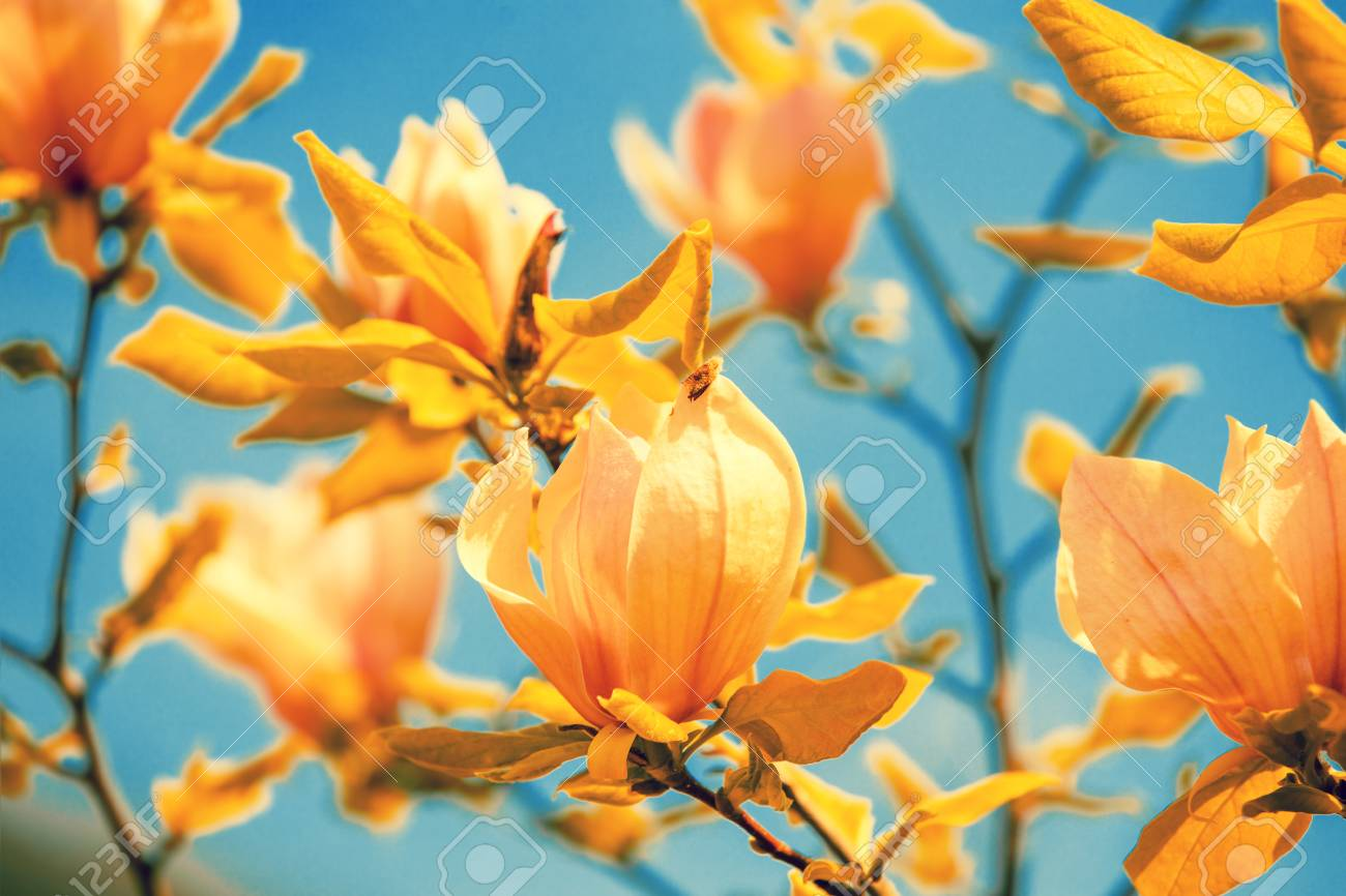 Blossoming Orange Colored Magnolia Flowers Against The Sky