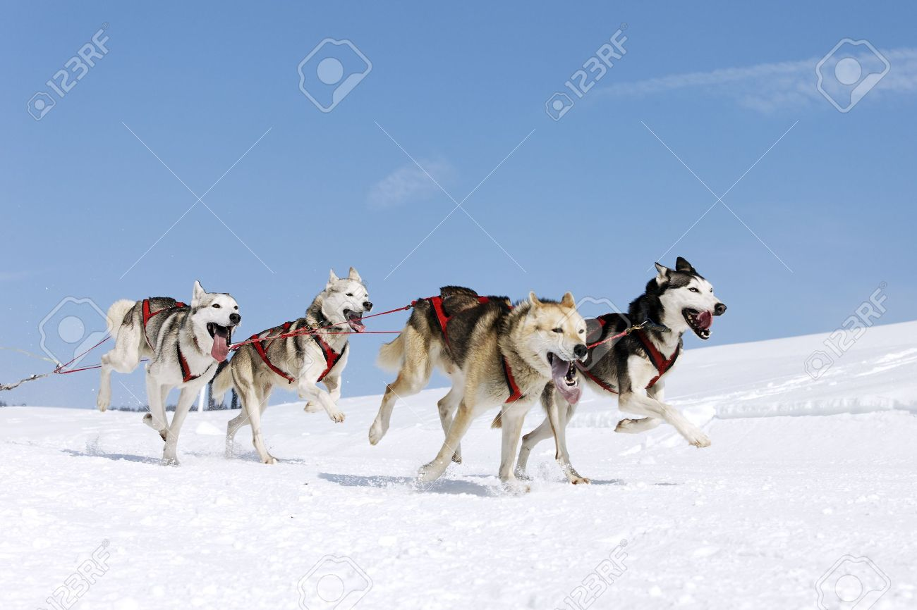 sled dog stock photos royalty free sled dog images and pictures