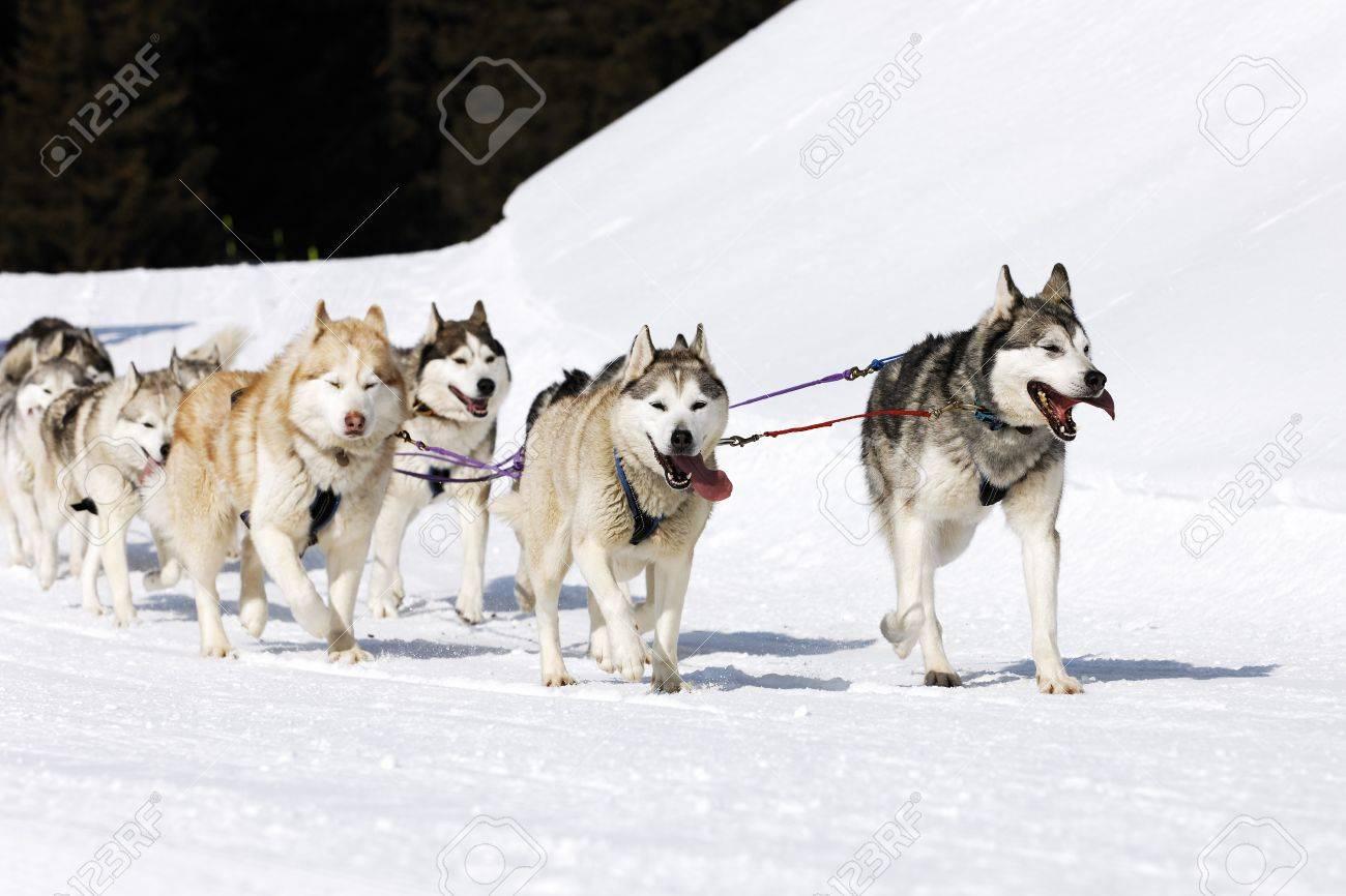 husky race on alpine mountain in winter Stock Photo - 10358457