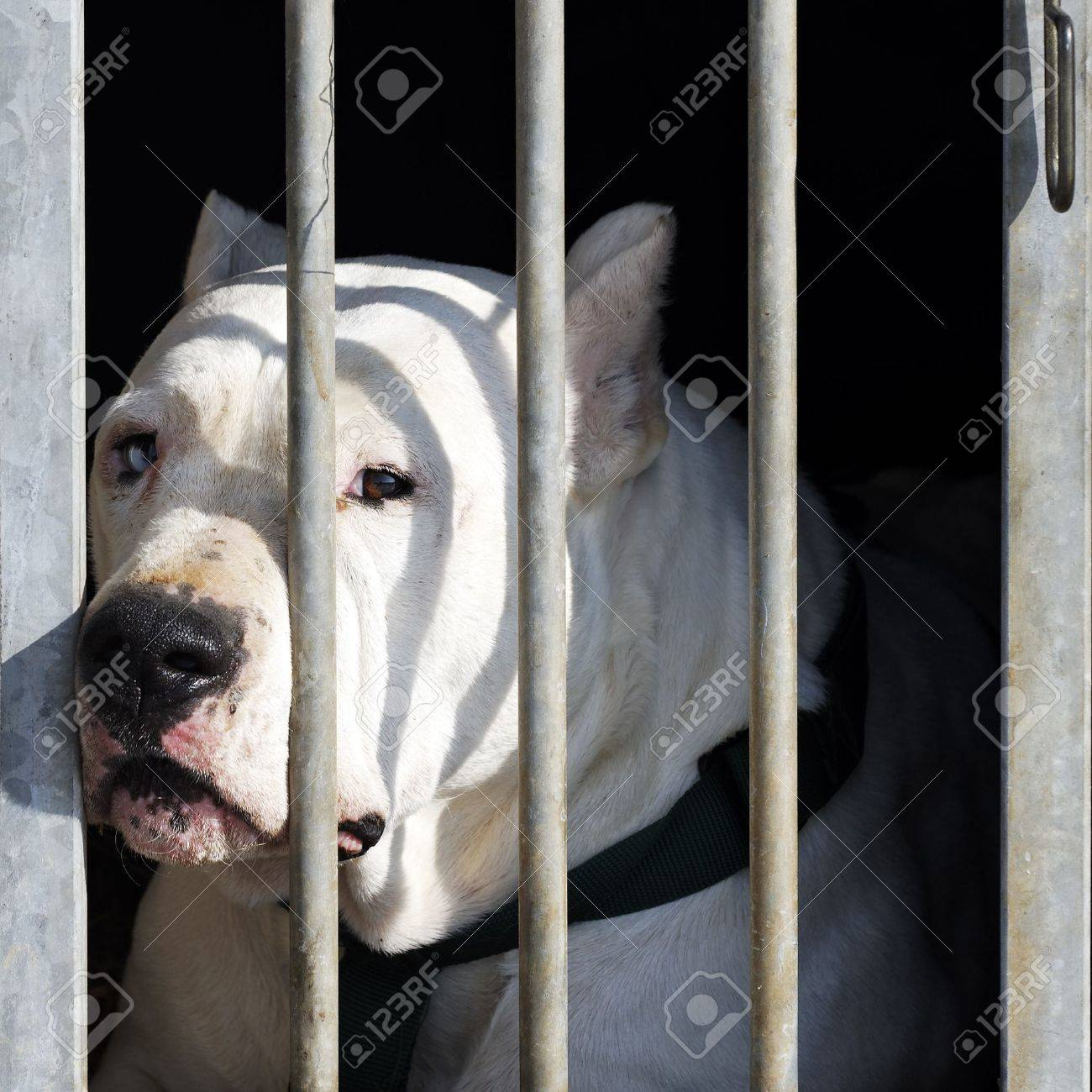 dangerous dog with big head in a cage Stock Photo - 10358440