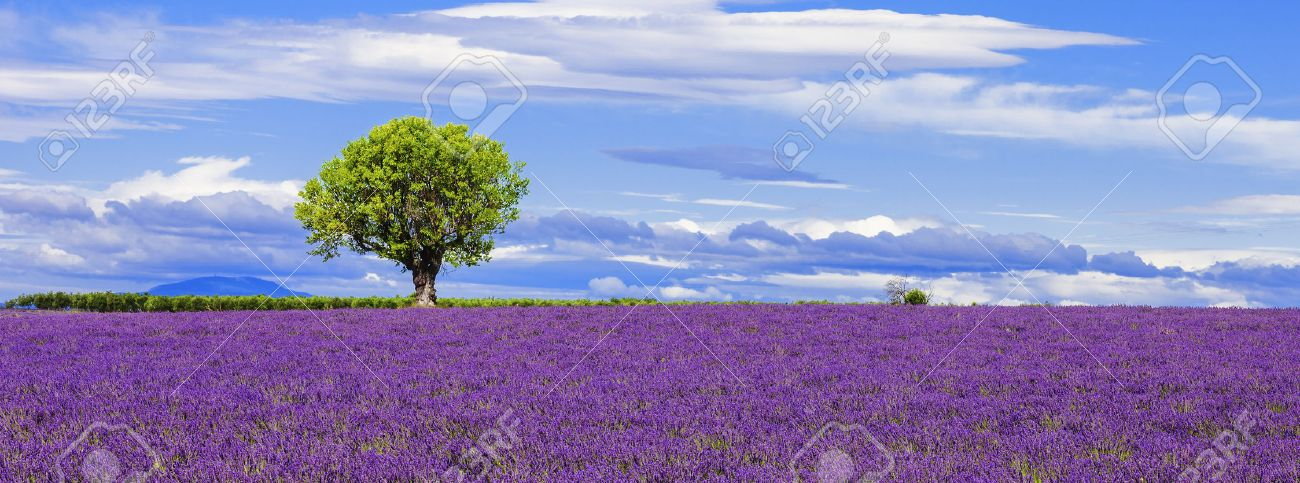 Panoramic view of lavender field with tree, France. - 33628012