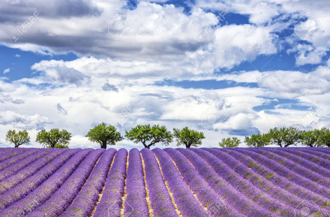 View of lavender field, France, Europe - 38739187