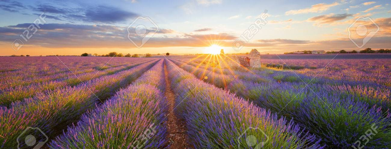 Panoramic view of lavender filed in Valensole. Provence, France - 60939118