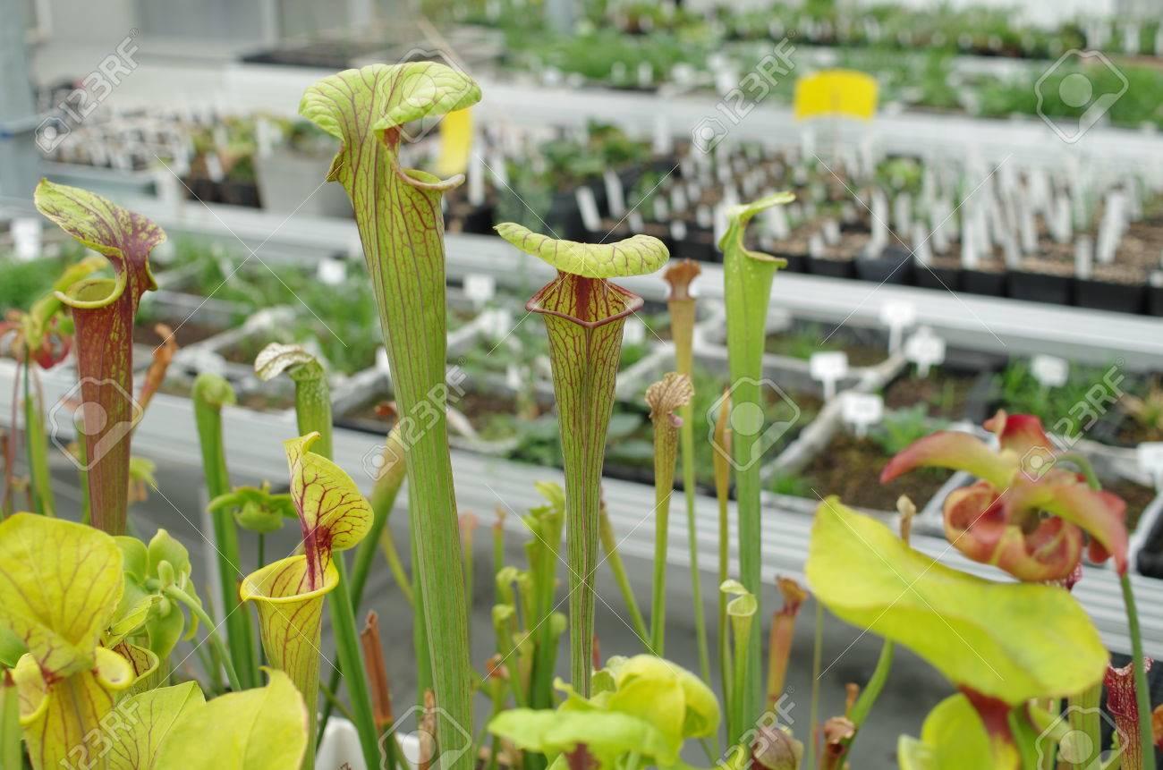 Die Gelbe Krugpflanze Sarracenia Flava Bedrohte Blumen