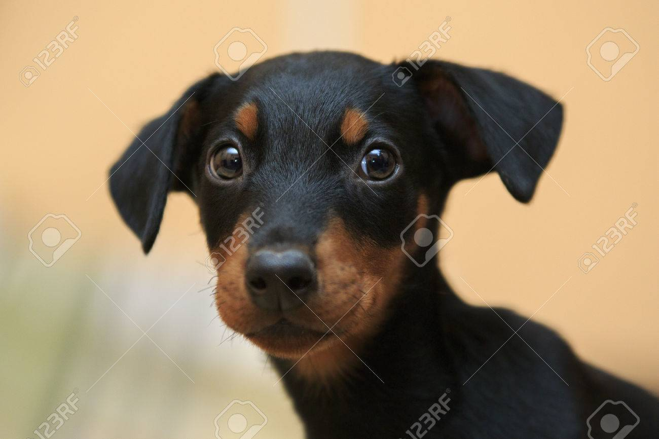 Cute Doberman Puppy Close Up With Pained Eyes And Hanging Ears Stock Photo Picture And Royalty Free Image Image 67740997