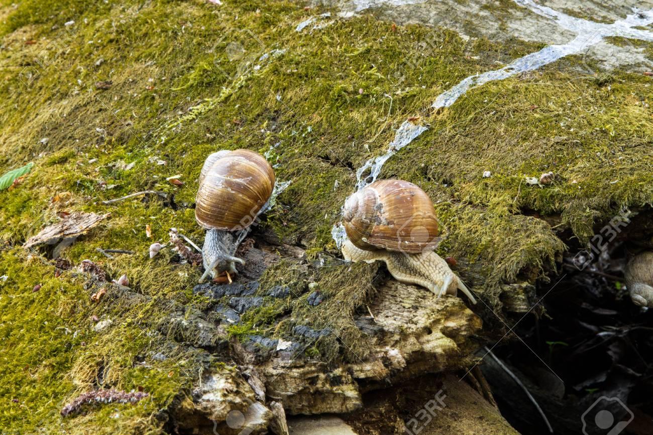 Escargots sauvages dans la nature. Une paire d'escargots. Arbre. Forêt. Mousse. Banque d'images - 77539109