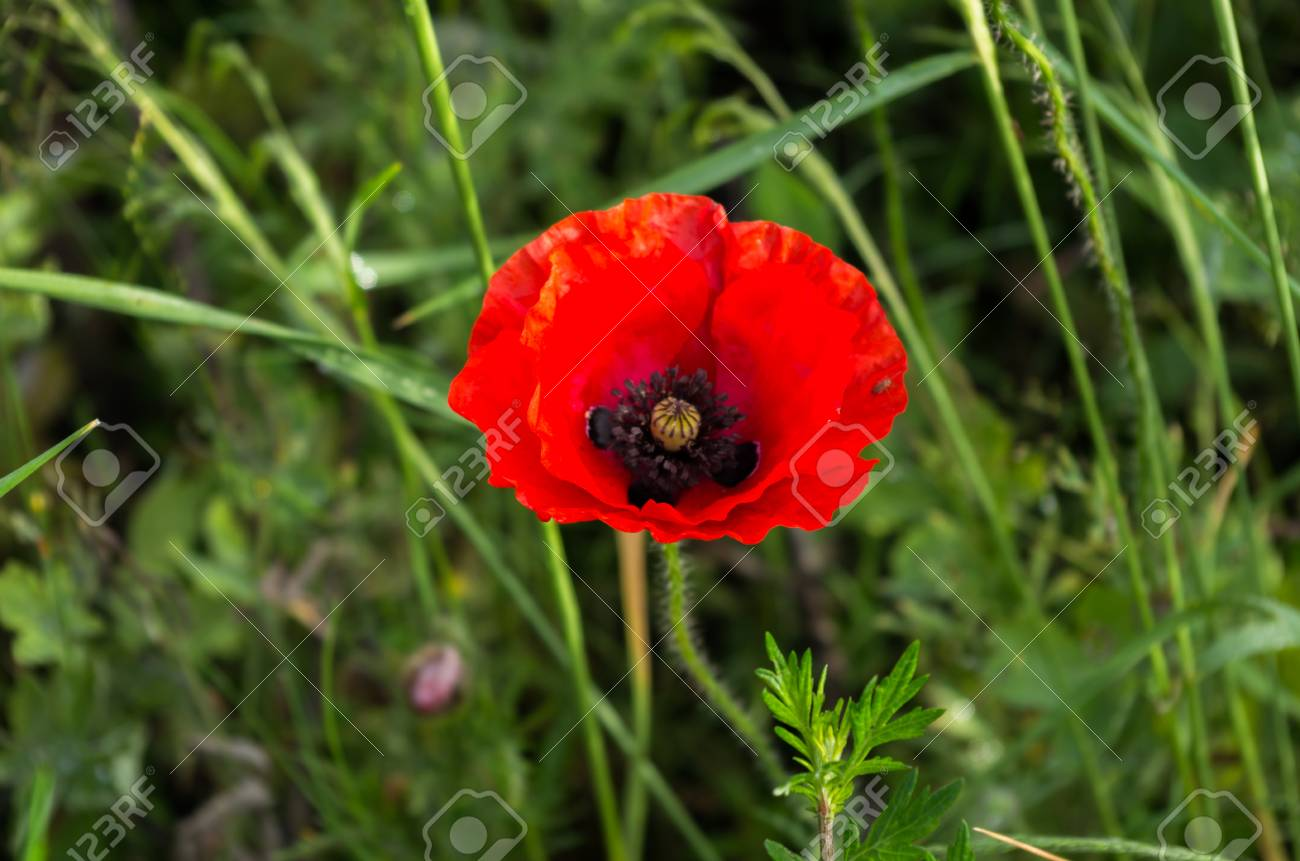 Red And Black Red Flower With Black Center Red And Black Stock Photo Picture And Royalty Free Image Image 99372719