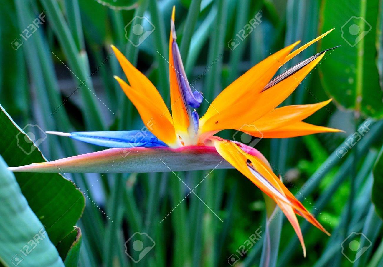 Bird of paradise images stock pictures royalty free bird of bird of paradise flower stock photo buycottarizona