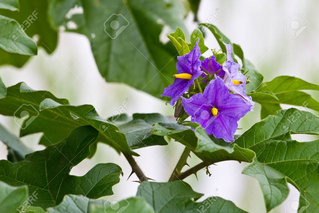 Purple flowers and green leaves yellow stamens stock photo picture purple flowers and green leaves yellow stamens stock photo 23253297 mightylinksfo