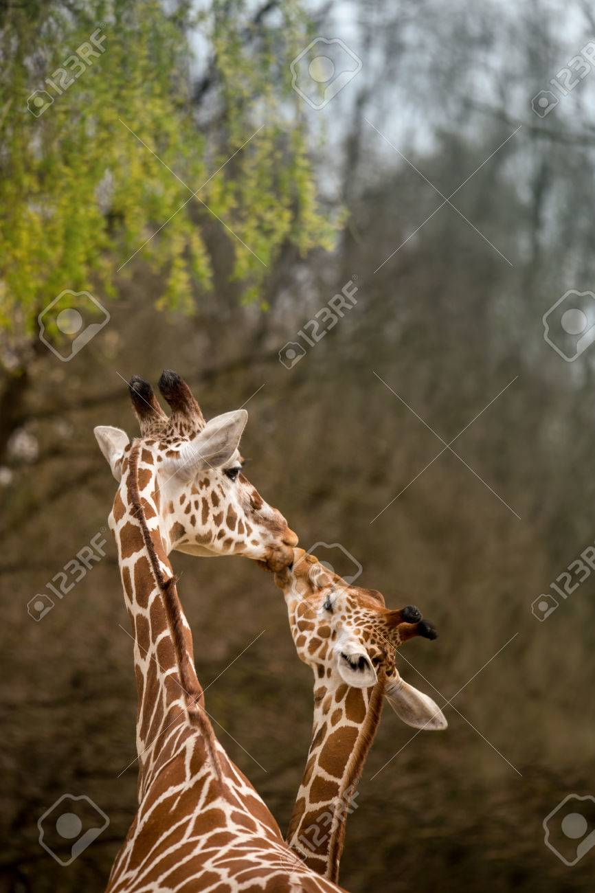 Folkekære Mother And Baby Giraffe Kissing, Selective Focus, Africa Stock TY-05
