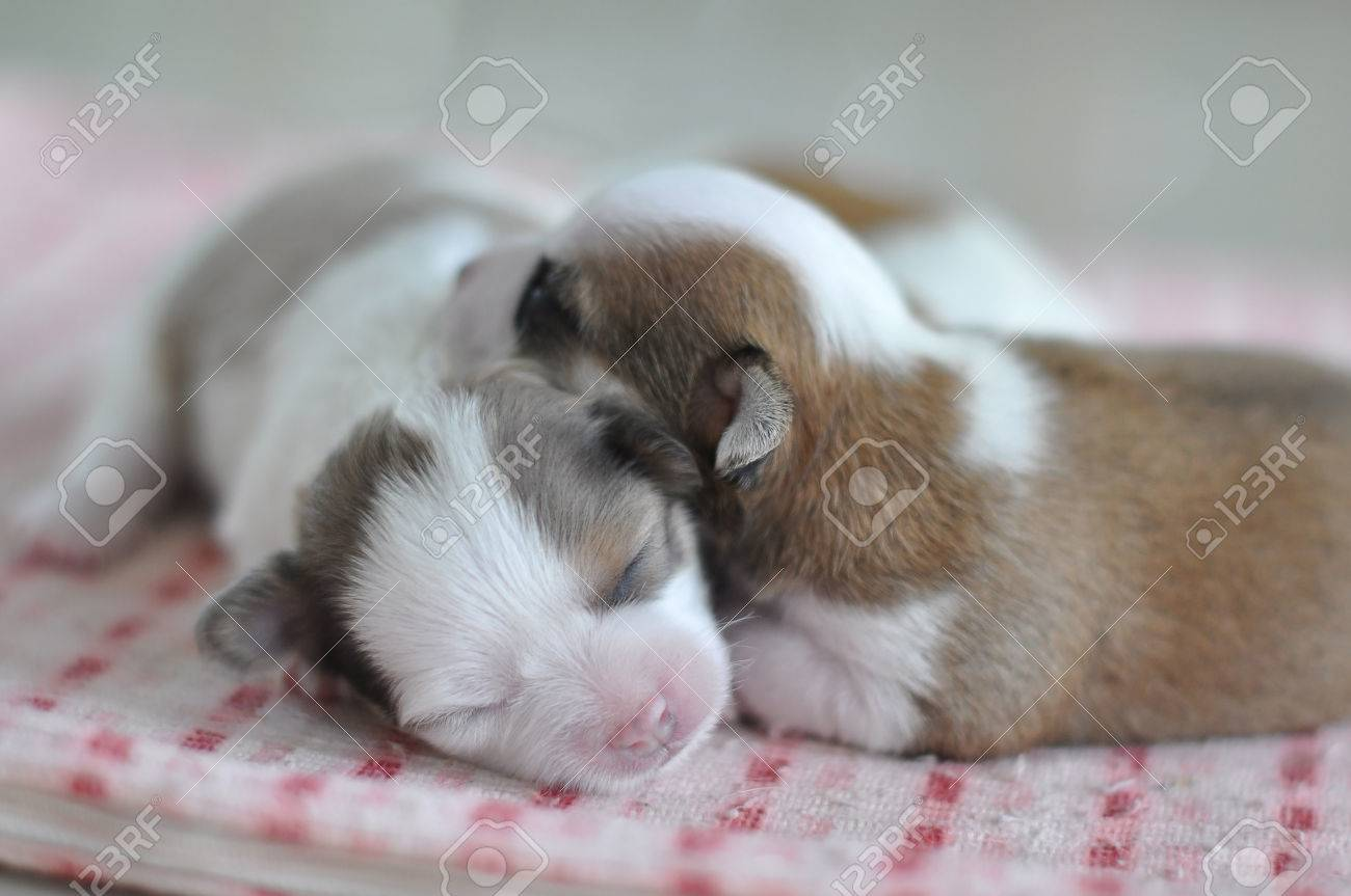 Chihuahua Puppies Newborn Are Sleeping Together Stock Photo