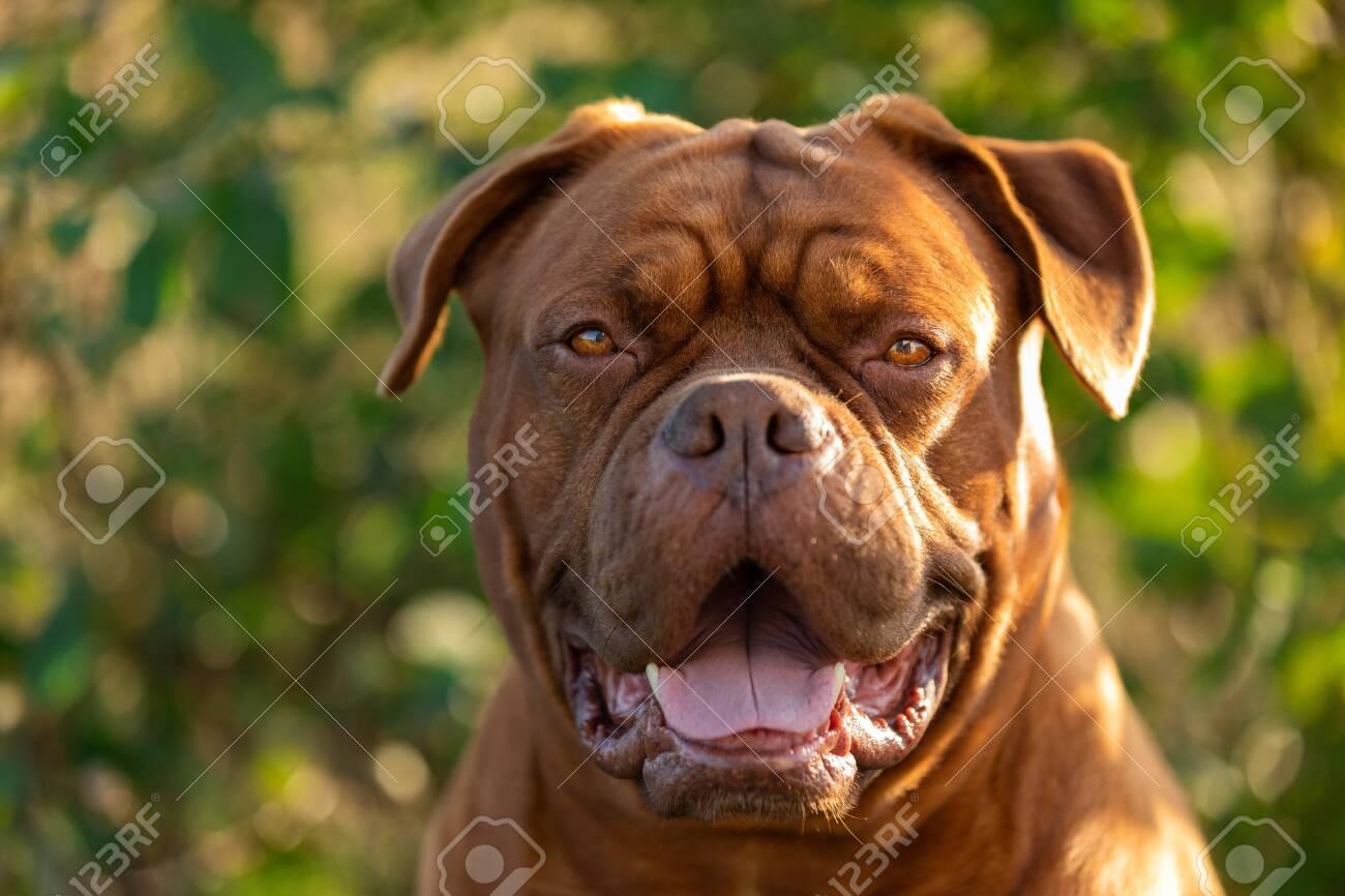 Dogue de bordeaux in the garden - 133042629