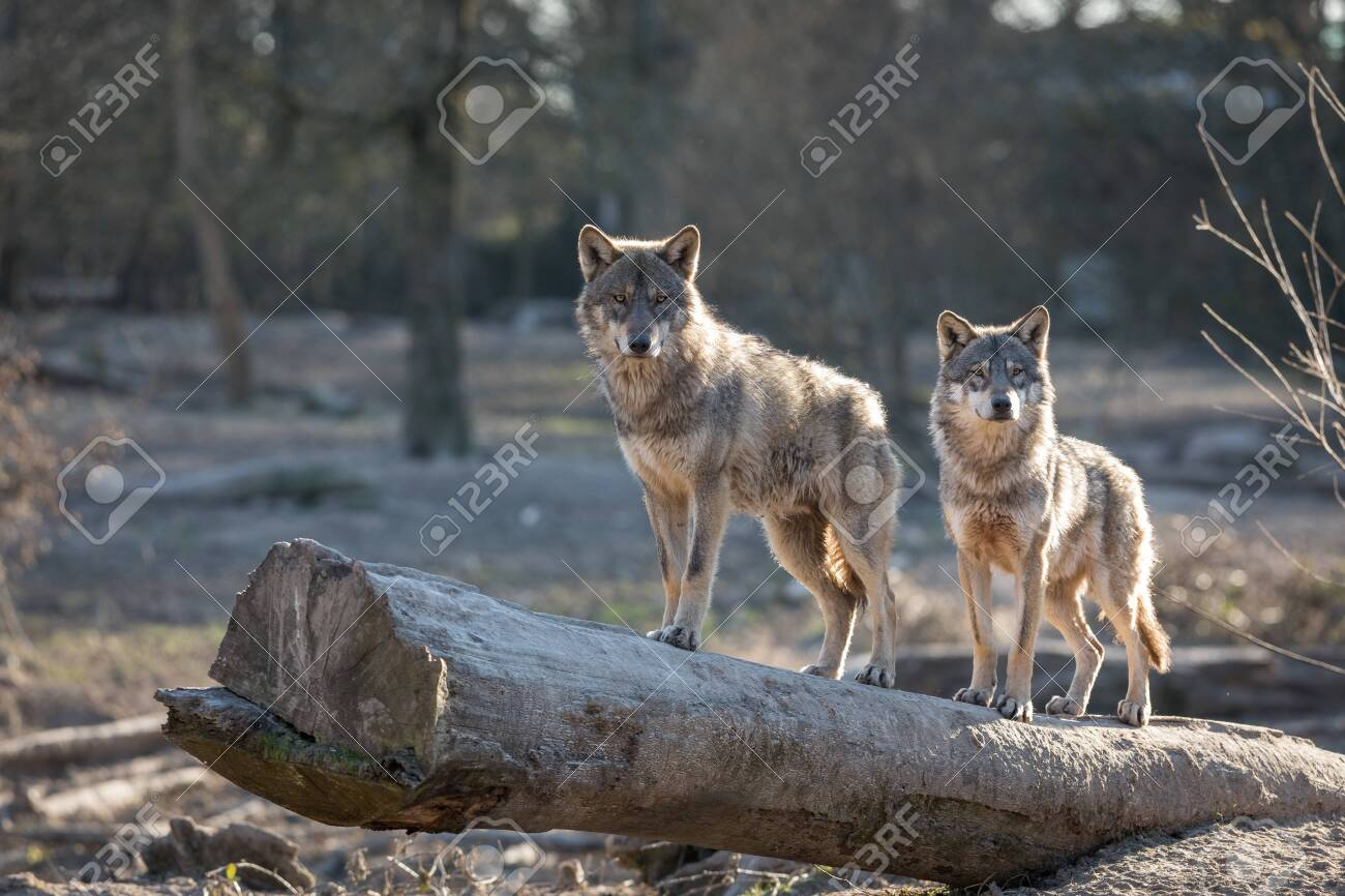 Grey wolf in the forest - 134983792
