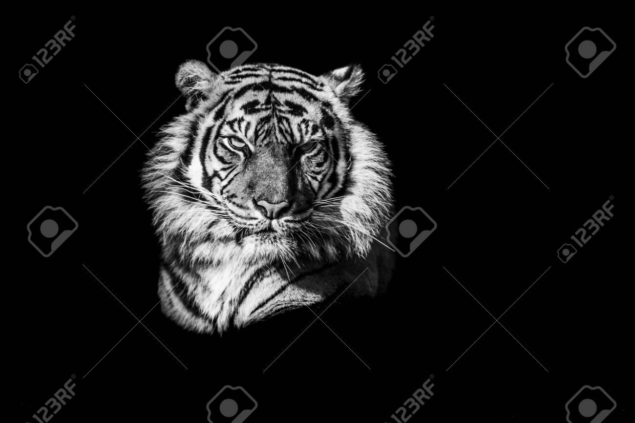 Tiger with a black Background in B&W - 145856701