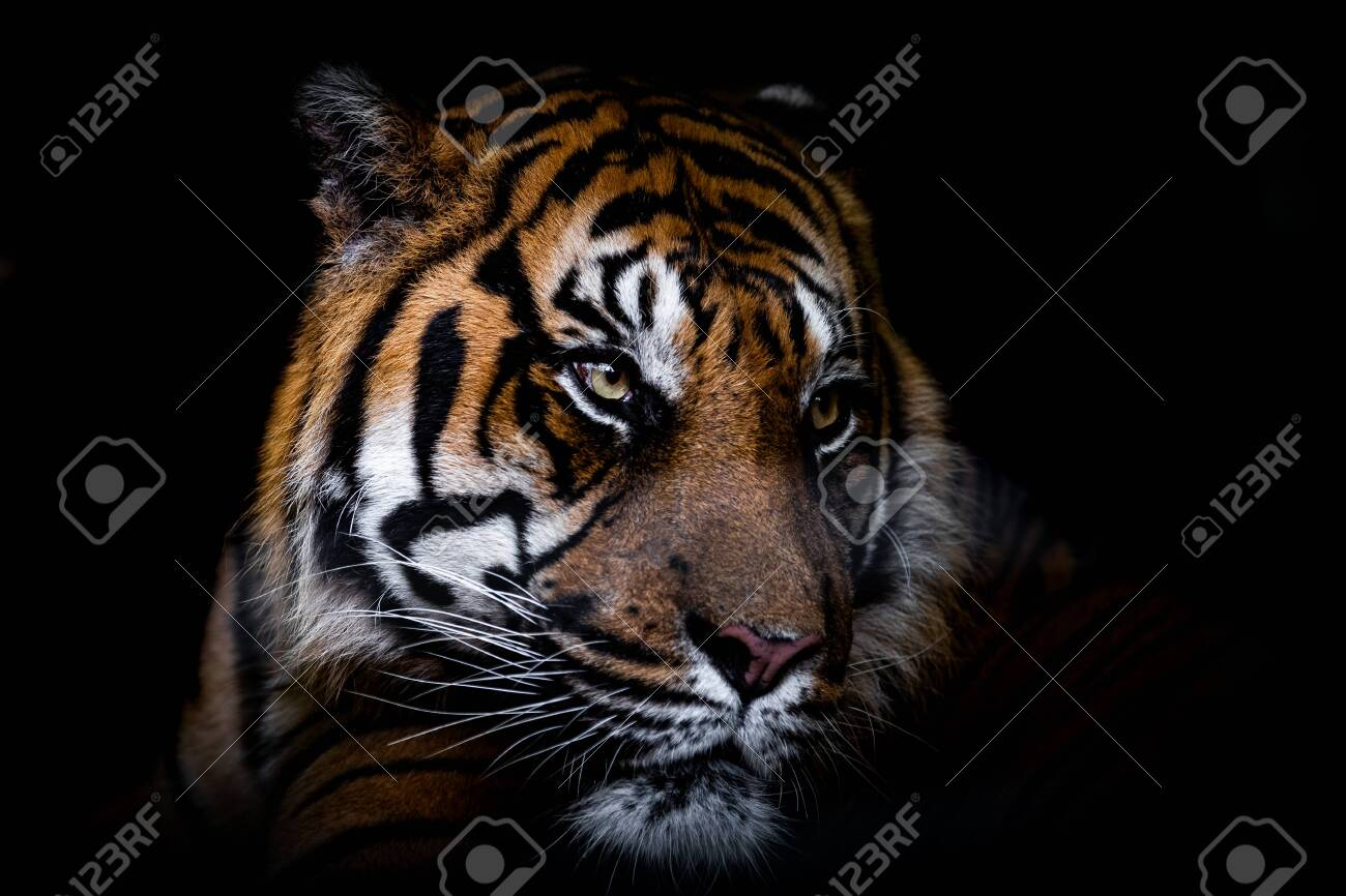 Portrait of tiger with a black background - 156426941