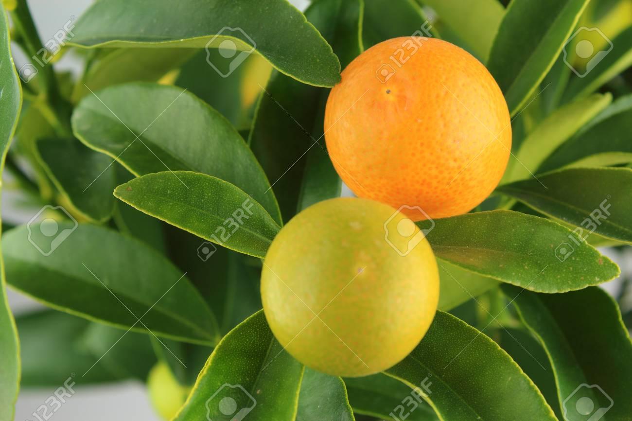 Kumquat Fruits On A Kumquat Tree Citrus Japonica Stock Photo