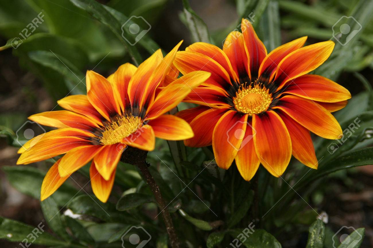 Colorful Flowers With Shades Of Yellow And Orange Stock Photo