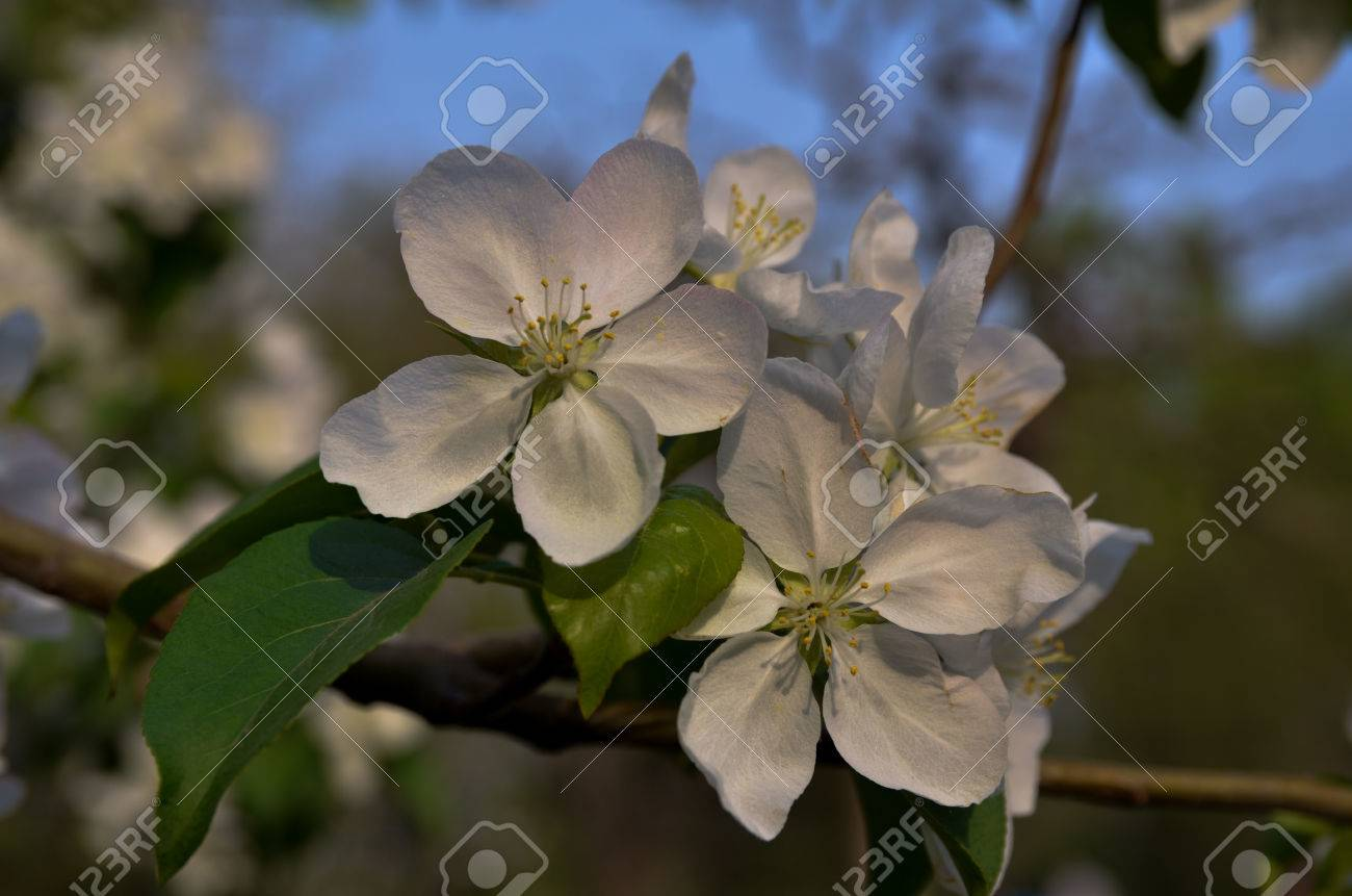 Five Petals White Flowers Stock Photo Picture And Royalty Free
