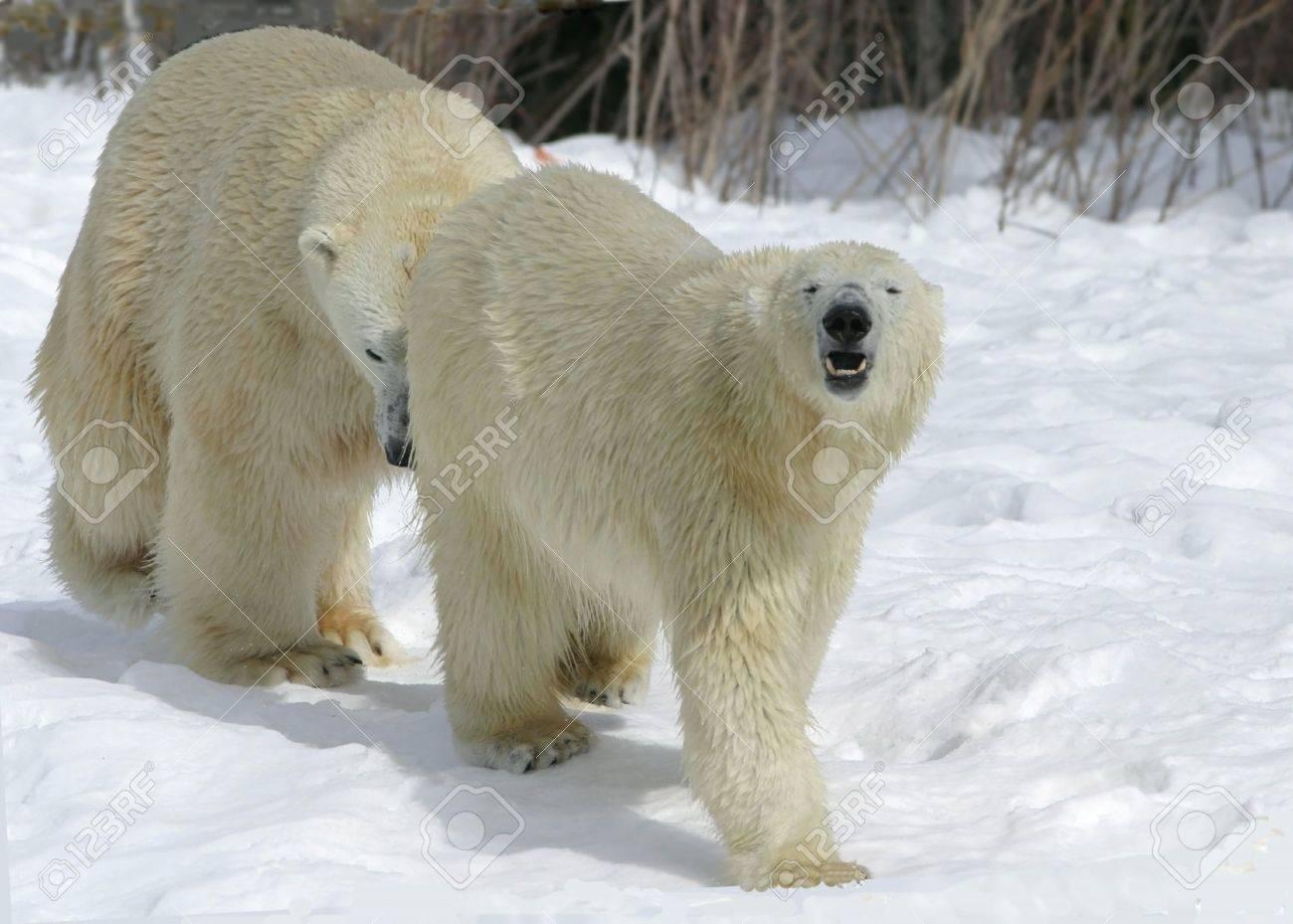 mating polar bears Stock Photo - 569759
