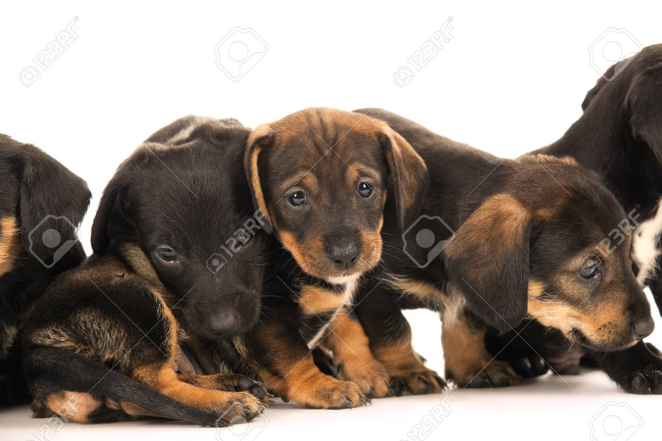 Dachshund Puppies Isolated On White Stock Photo Picture And Royalty