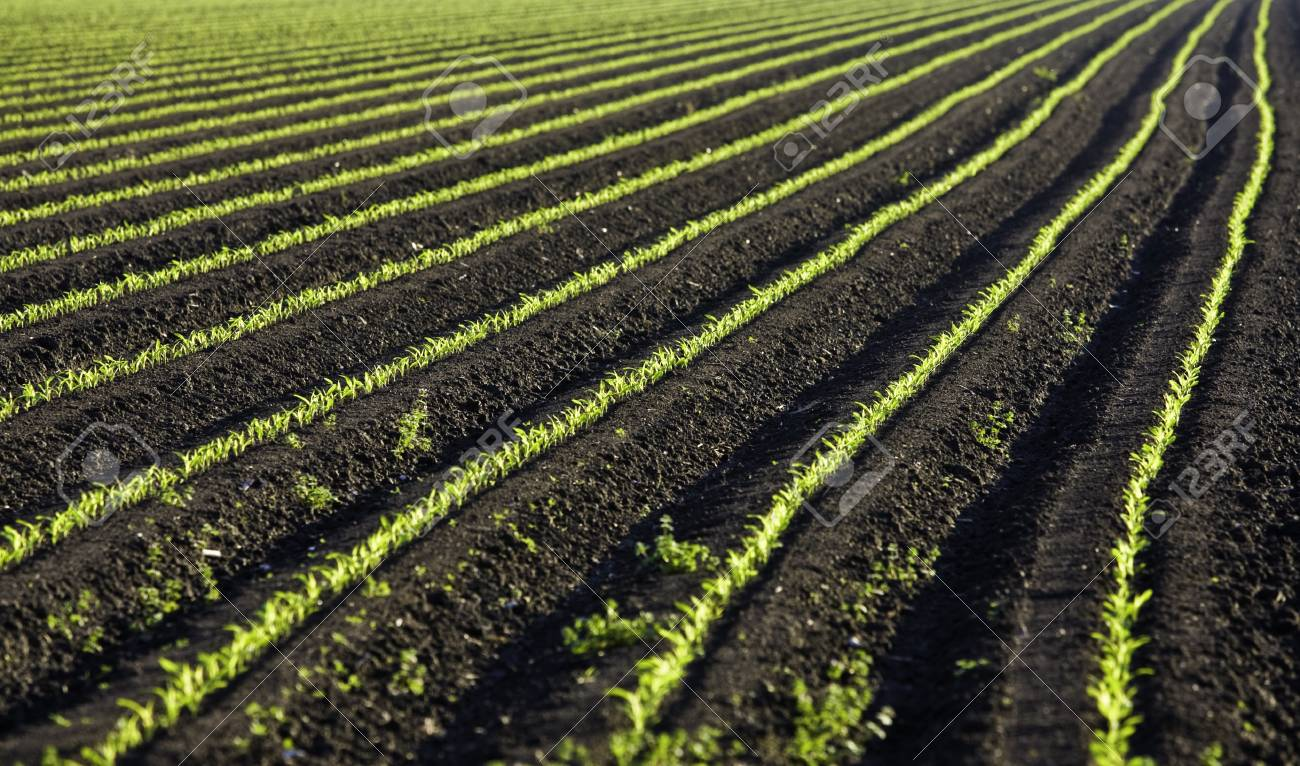 row of green baby leaf in texas Stock Photo - 4513026