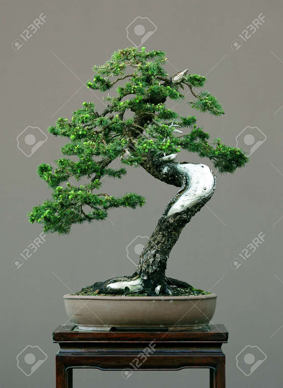 Spruce Bonsai With Deadwood Picea Abies Stock Photo Picture And Royalty Free Image Image 694714