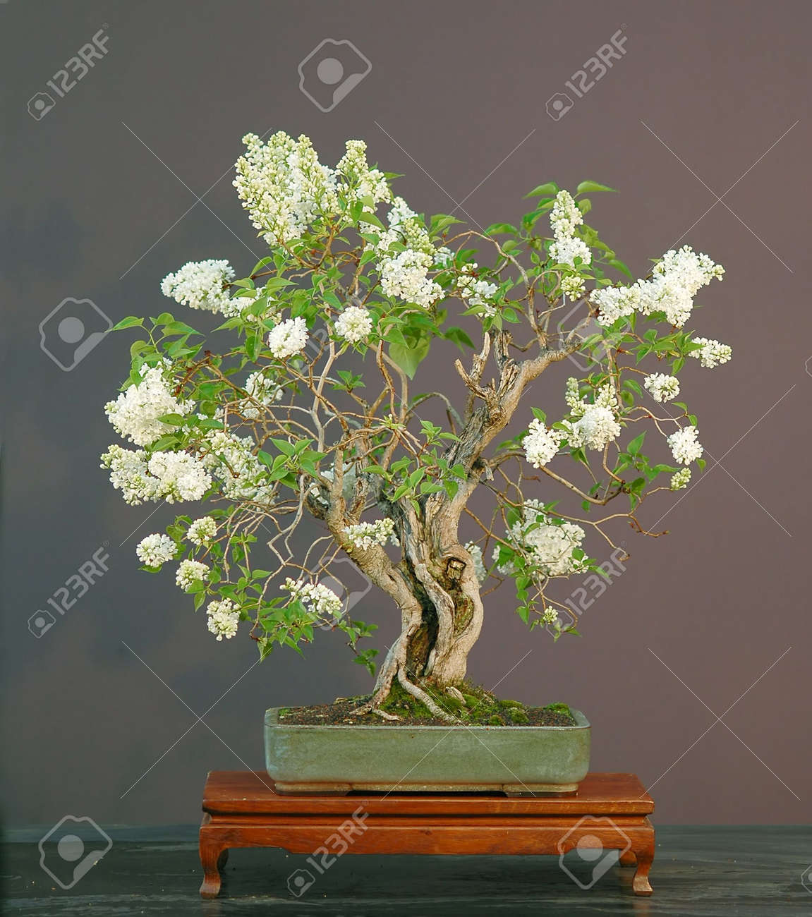 Lilac Bonsai In Bloom Syringa Vulgaris Stock Photo Picture And Royalty Free Image Image 694719