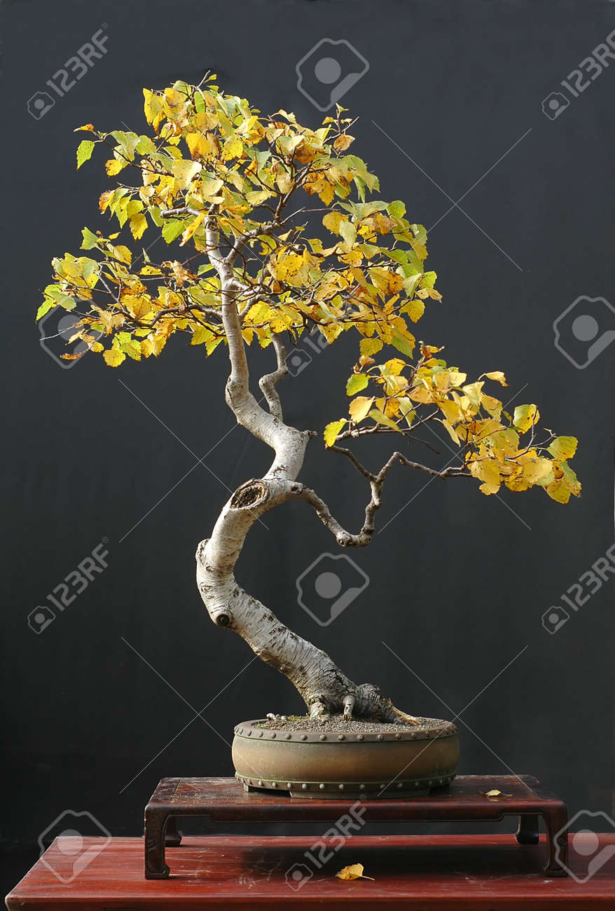 European Birch Betula Pendula 90 Cm High Collected In Asutria Stock Photo Picture And Royalty Free Image Image 694773